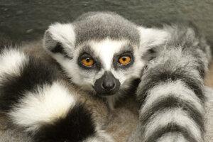 Mladý lemur v košickej zoo.