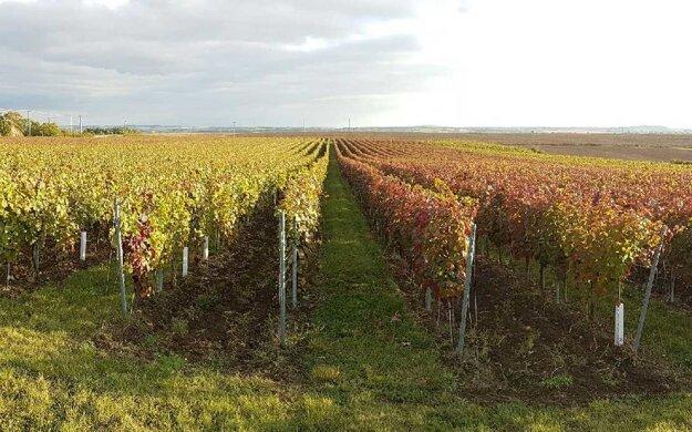 Vinári hlásia straty na viacerých odrodách. V týchto dňoch ich čaká oberačka červených odrôd, ktoré mráz poškodil menej.