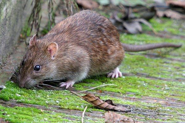 Potkany sa často zdržiavajú v obytných zónach.