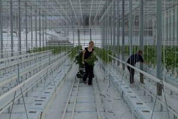 Teplo z podzemia využívajú v skleníkoch na pestovanie rajčín, v šachte potom hlív ustricových.