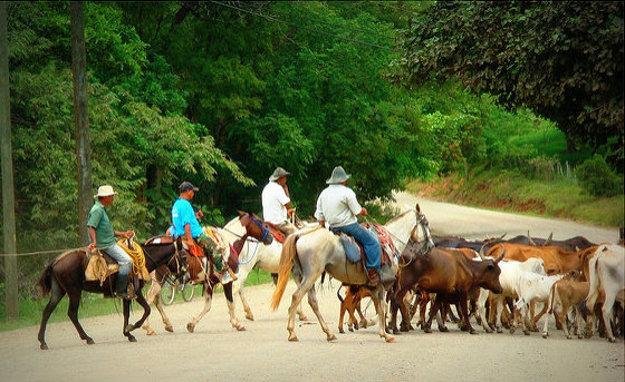 Pre provinciu Guanacaste je typický chov dobytka.