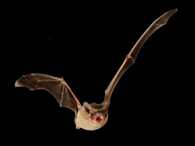 Najrýchlejším letcom je netopier.