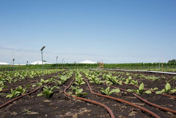 Upravené rastliny využívajú slnečné žiarenie efektívnejšie.