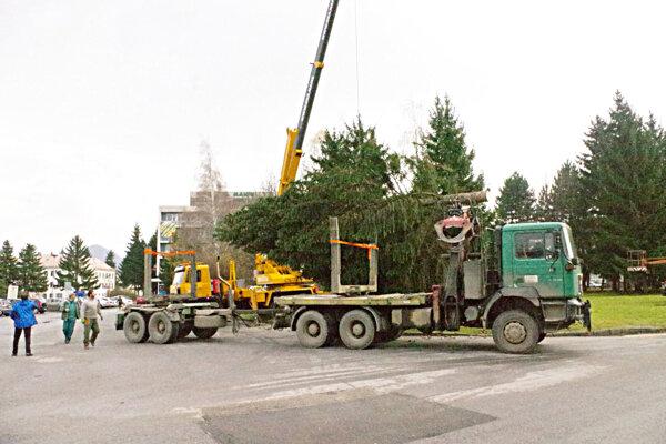 Vianočný smrek je jeden z vyrezaných stromov, ktoré padnú za obeť výstavbe pred hotelom Manín.