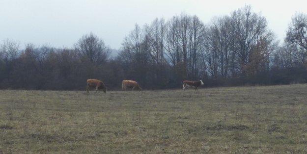 Kravy sú na pasienkach už mesiac.