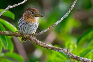 Nystalus obamai, po slovensky lenivka hnedkavá, žije samotársky život v korunách amazónskych stromov. Statné vtáky s nadýchaným perím majú mimoriadne veľkú hlavu. Meno po Obamovi si však vyslúžili za jeho prínos k rozvoju zelených technológií, ktoré pomáhajú uchovať ekosystémy podobné tým, v ktorých žije aj N. obamai.