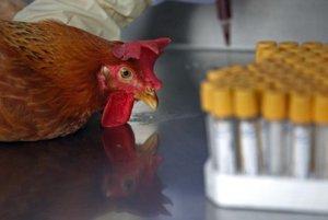 Ochorenie sa potvrdilo v prípade voľne žijúcich vtákov (ilustračná snímka)