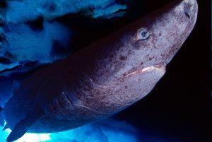 Žralok grónsky, najstarší stavovec Zeme pláva veľmi pomaly, preto aj dostal meno ospalec. Môže sa dožiť pol tisícročia.
