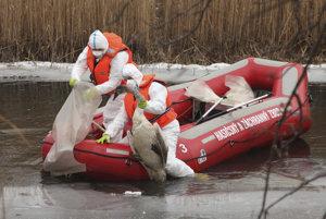 Pracovníci RVPS Komárno zbierajú uhynuté labute.