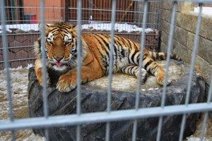 Na snímke tiger sibírsky oddychuje vo výbehu.