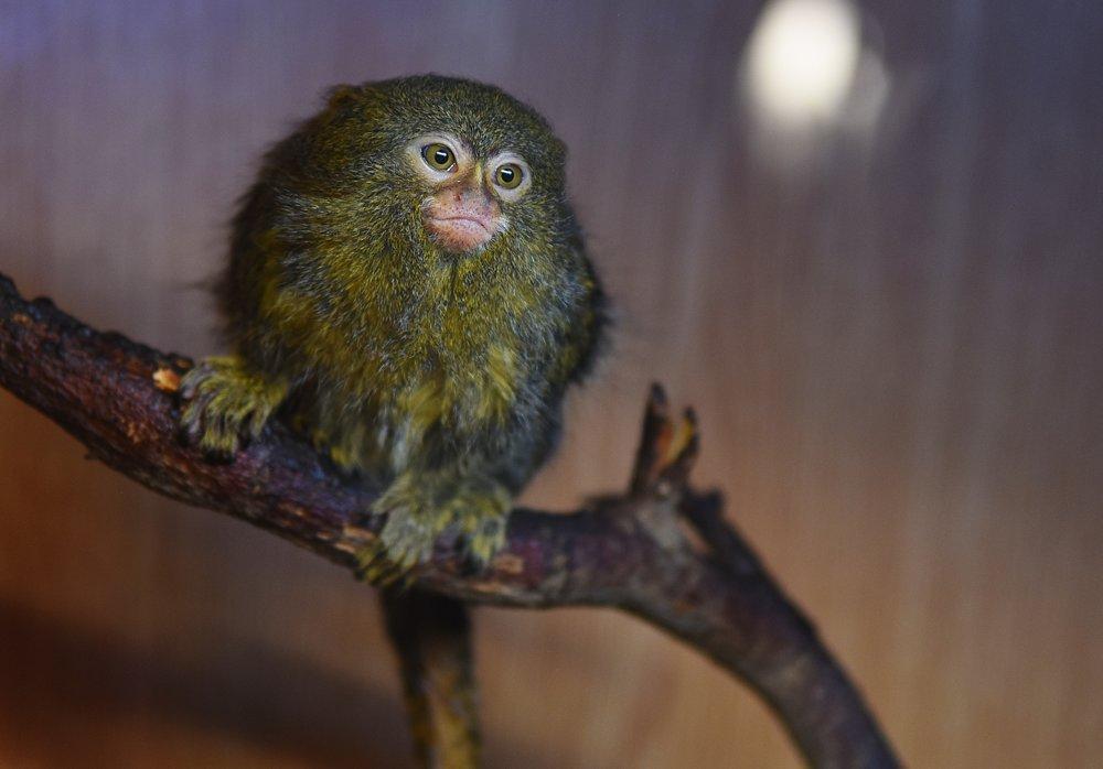 Na snímke jedna z najmenších opíc, kosmáč trpasličí.