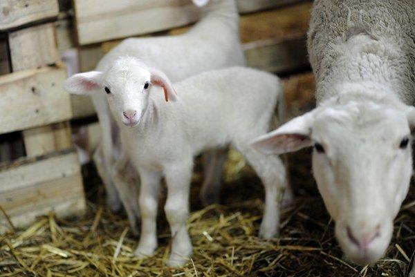 Novonarodené jahňatá ovce domácej (lat. Ovis aries) na gazdovstve Uhliská v Trenčianskej Závade.