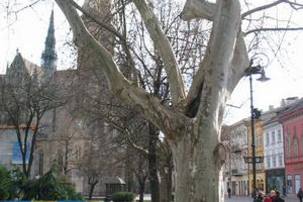 Starý platan je ozdobou parku pri Dóme sv. Alžbety.