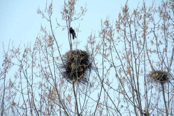 Na zhadzovanie hniezd dohliadajú aj pracovníci Štátnej ochrany prírody.
