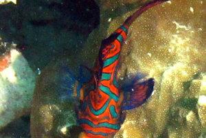 Fish mandarin.