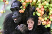Šimpanzia matka a jej mláďa sa kŕmia figami. Aj vďaka nim majú väčší mozog.