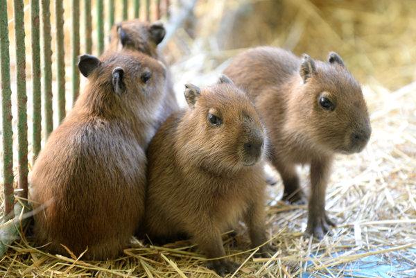 V Zoologickej záhrade v Košiciach sa narodili aj štyri mláďatá kapybary močiarnej.