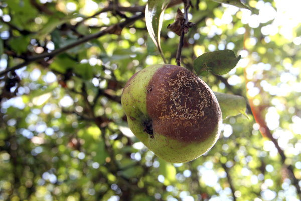 Zhnité ovocie patrí tiež do biologicky rozložiteľného odpadu.