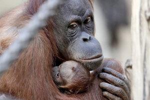 Orangutánia matka Raja s mláďaťom v nemeckej zoo v Lipsku. Mláďa sa narodilo 25. marca.