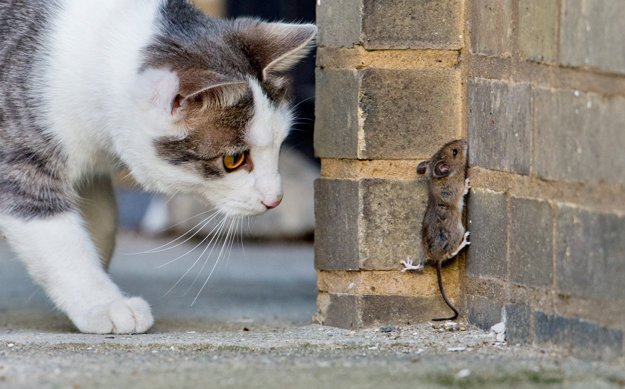 Jedným z najväčších nepriateľov myší sú mačky.