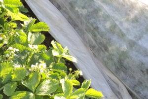 Ovocinári v Návojovciach zakrývali jahody predminulú i minulú noc plachtami.
