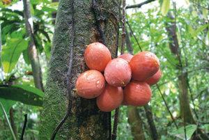 Na západe strednej Afriky objavili štyri nové druhy z rodu englerophytum. Na obrázku englerophytum paludosum.