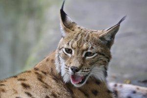 Rys ostrovid je najväčšou mačkovitou šelmou Európy.
