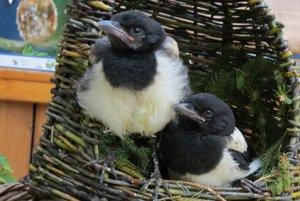 Prípadov nájdenia mláďat pribúda najmä v týchto mesiacoch. Vylietavajú z hniezd, hoci ešte nie sú schopné samostatného života.