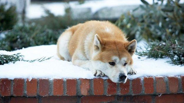 Psík akita inu vo filme Hačikó, príbeh psa.