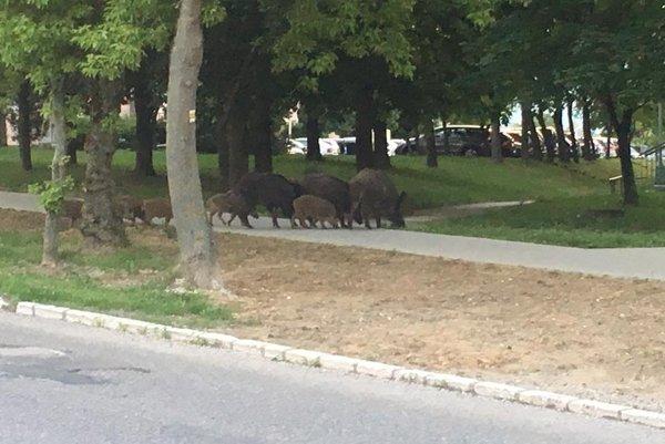 Črieda diviakov na prechádzke po sídlisku.