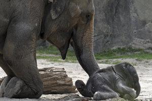 Kitai, nový prírastok, sa v kolínskej zoo narodil minulú noc.