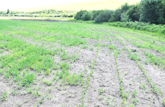 Na jednom poli je zasiaty jačmeň s kukuricou.