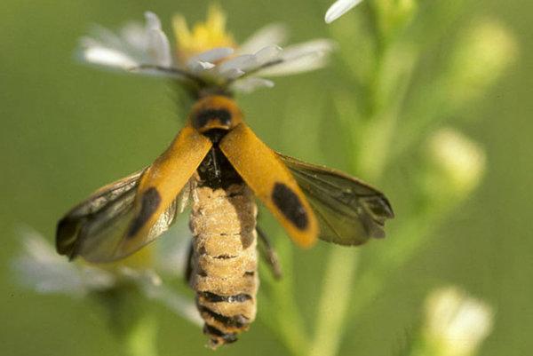 Parazitická huba prinúti chrobáka zakvačiť sa na kvet a po niekoľkých hodinách roztvoriť krídla.