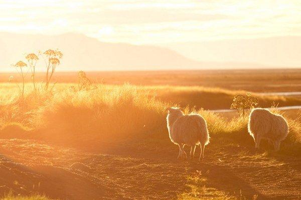 Dve islandské ovce.