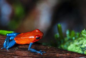 Pralesnička drobná, nazývaná aj blue jeans frog - žaba s modrými džínsami.