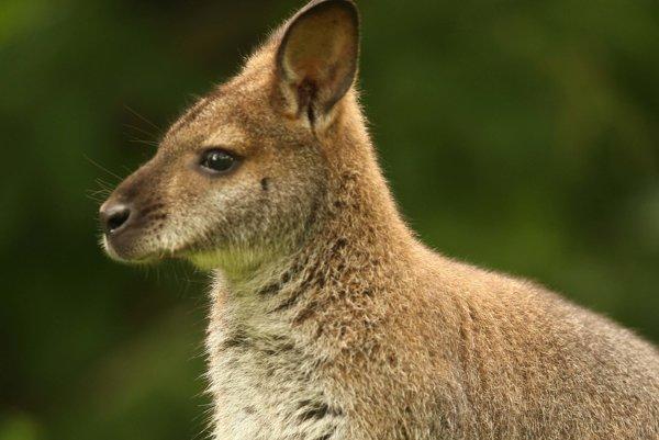 Kengury spôsobujú Volvu problém.