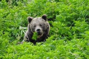 Medveď na paši.