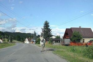 V Nižnom Kelčove si po ceste vykračoval tento veselý koník.