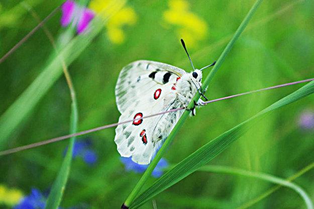 Jasoň červenooký, vzácny druh motýľa.