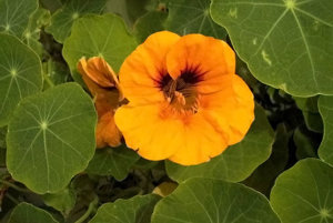 1. Kapucínka (kvety/listy) obsahuje 45000/13600 mikrogramov luteínu na 100 gramov.