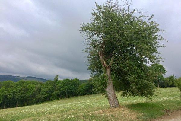 120-ročná jabloň je vo finále ankety Strom roka.