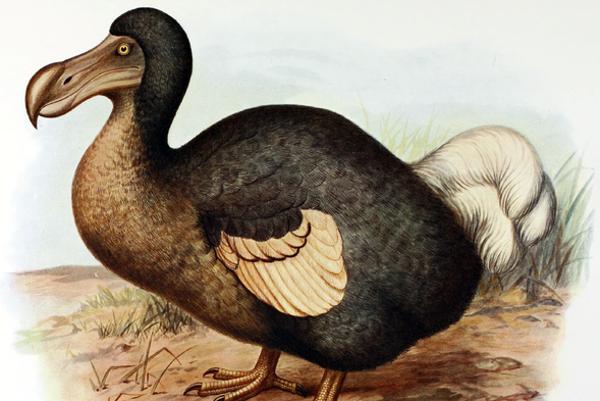 Vták dodo (Raphus cucullatus) sa stal aj symbolom hlúposti