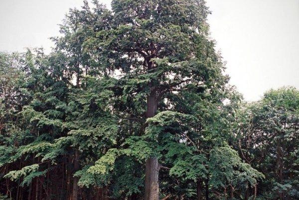Nezvyčajného krásavca majú v Ochodnici. Ide o buk lesný, ktorý rastie v miestnej časti Petránky.  Predpokladajú, že je starý 300 rokov.
