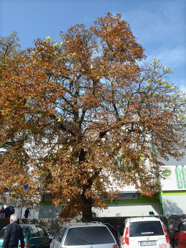 Zmiatlo ho počasie. Zakvitnúť môžu počas babieho leta viaceré stromy.