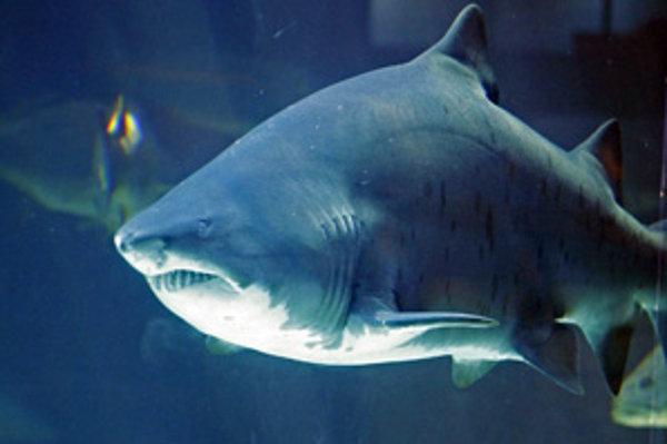 Žralok v akváriu v Kapskom meste.