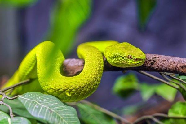 Štrkáčovec bieloústy je pomerne nervózny a agresívny had, ktorý žije na stromoch a živí sa vtákmi.