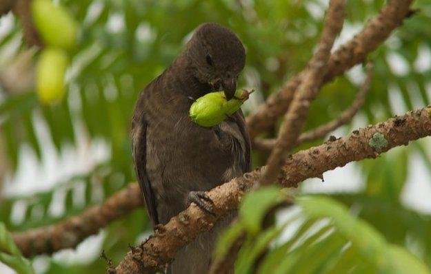 Seychelský čierny papagáj