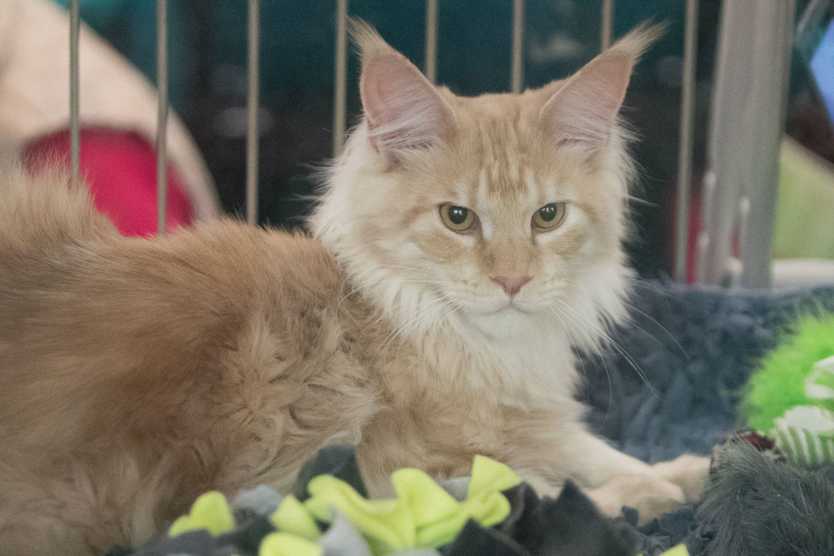 Stihli ste výstavu najkrajších mačiek  Pozrite si fotogalériu ... 19c223f2574