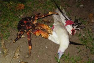 Krab palmový s čajkou.