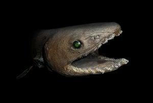 Žralok úhorovitý.